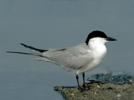 24-Gull-billed-Tern-Alamy.jpg
