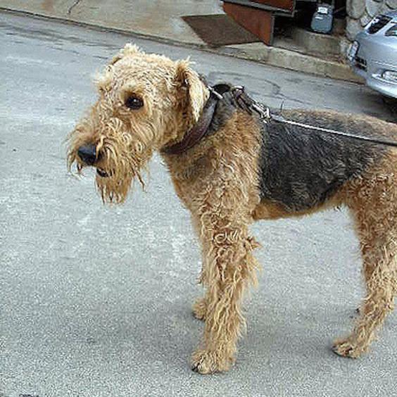 airdale-terrier-now.jpg
