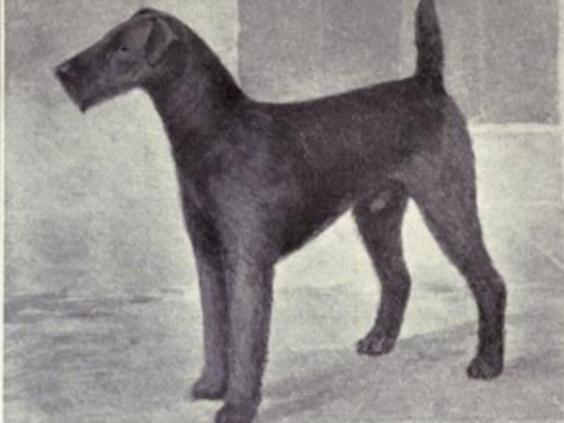 airdale-terrier.jpg