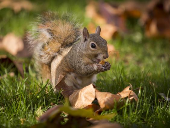 grey-squirrel.jpg
