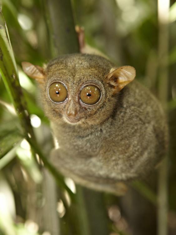 tarsier-philippines.jpg