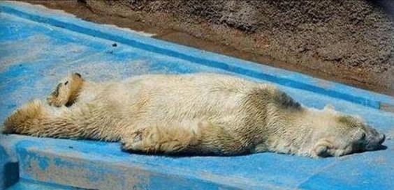 Arturo The World S Saddest Polar Bear Dies Aged 30