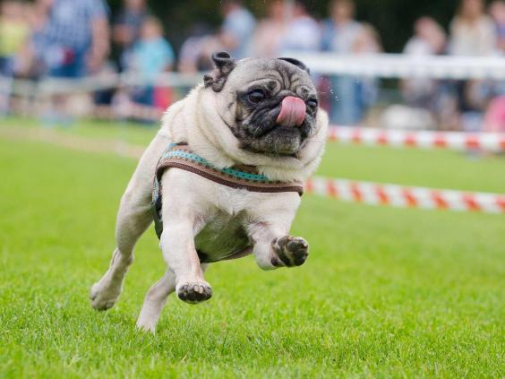 pug-race.jpg