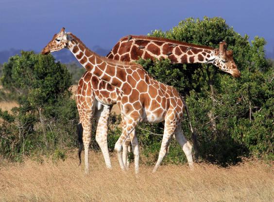 an106416462elegant-giraffe-.jpg