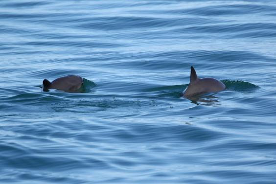 vaquita-if-used-must-be-credited-as-copyright-todd-pusser.jpg