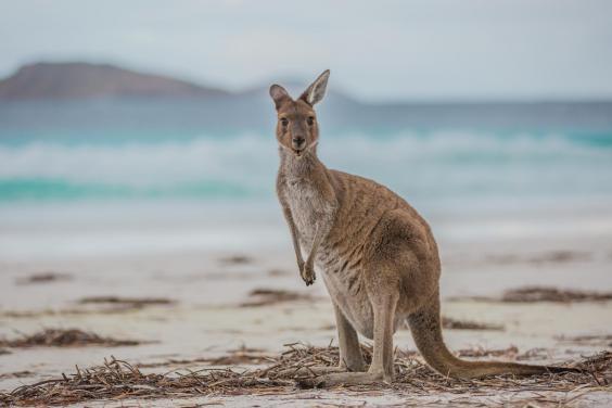 110569-kangaroo-on-lucky-bay-near-esperance-western-australia.jpg