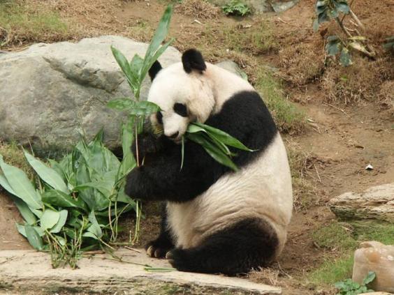 jia-jia-hong-kong-giant-panda.jpg