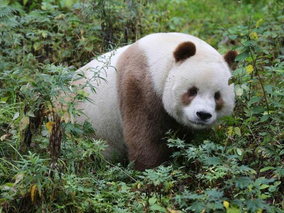 brown-panda-1.jpg