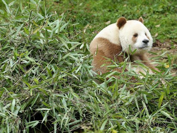 brown-panda-2.jpg