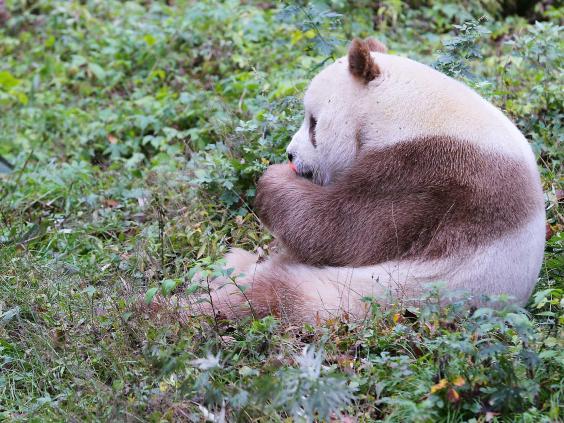brown-panda-3.jpg