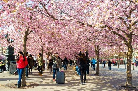 cherry-blossoms-in-stockholm-sweden.jpg
