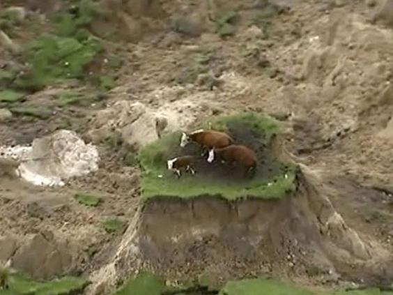 cows-earthquake.jpg