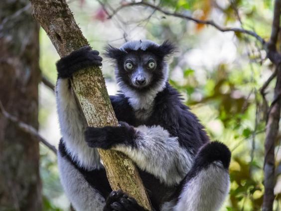 indri-lemur.jpg