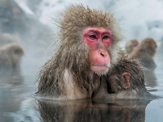 japanese-snow-monkey.jpg