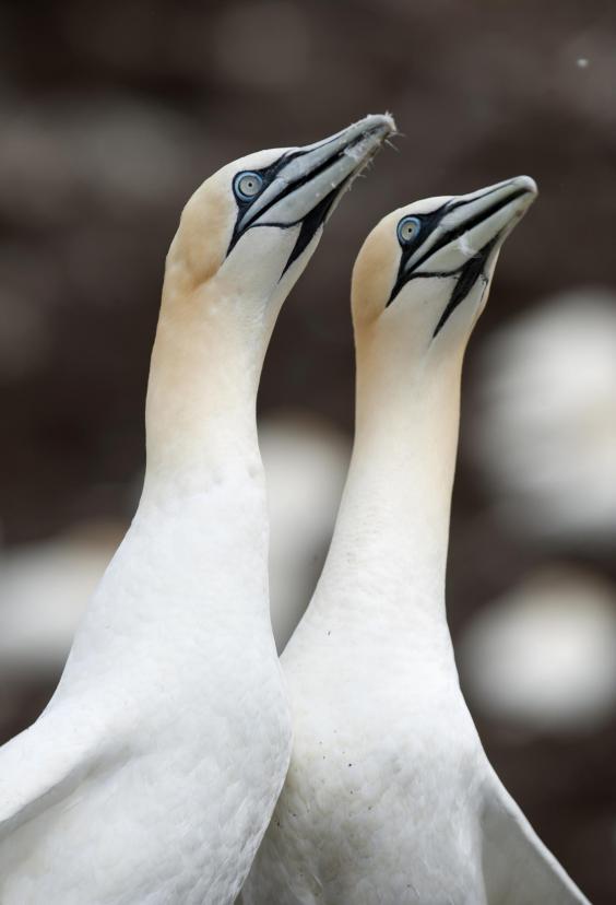 gannet-c-gareth-easton.jpg