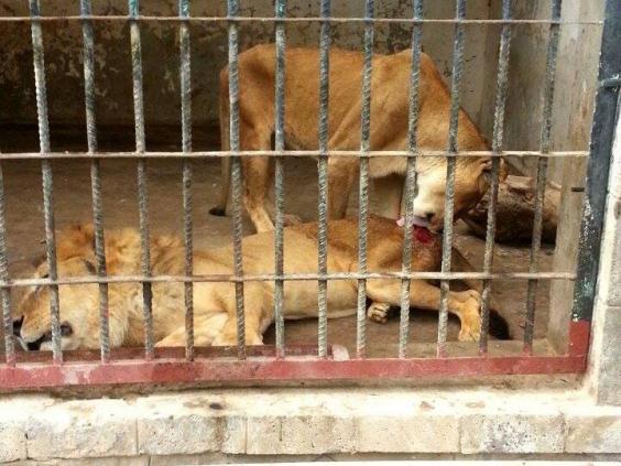 lions-starving.jpg