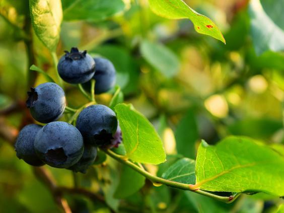 norwegian-blueberries.jpg