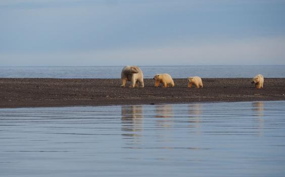 a-mother-polar-bear-watches-over-her-cubs-near-kaktovik-c-sarah-reid.jpg