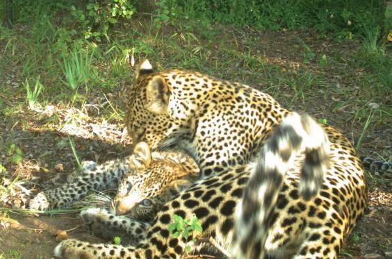 leopard-cub-grooming.jpg