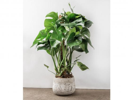 8 best house plants the independent - Best large houseplants ...