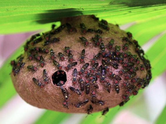 fierce-black-polybia-wasp.jpg