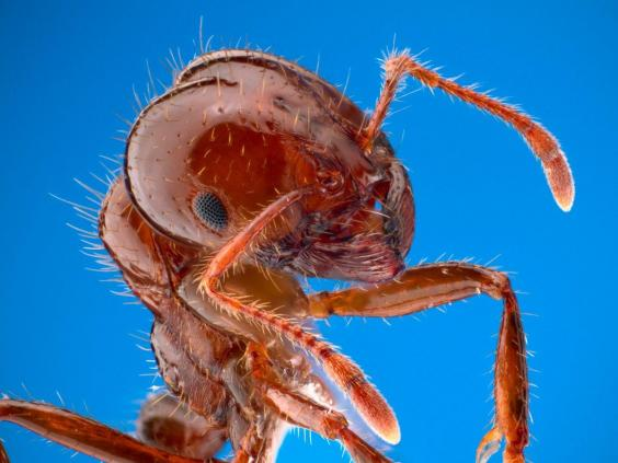 red-fire-ant.jpg