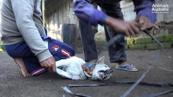white-dog-screams-during-capture.jpg