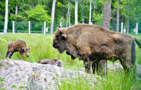 belarus-bison.jpg