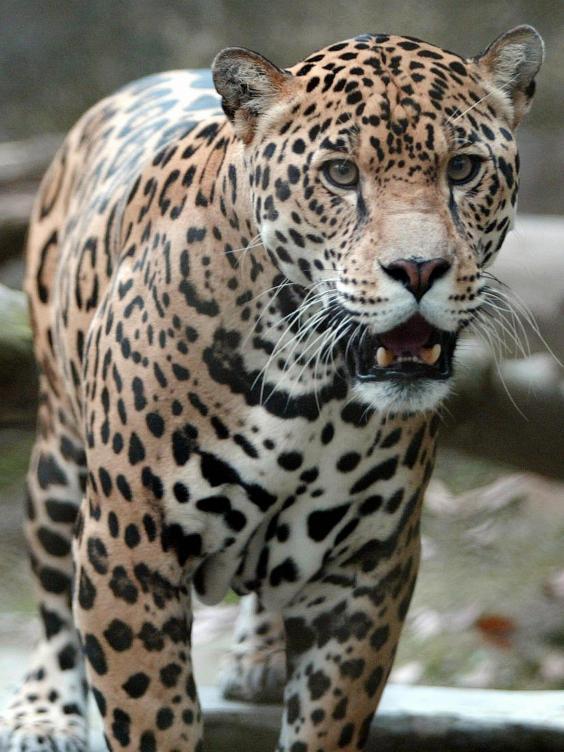 darwin-jaguar.jpg