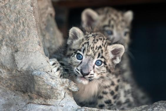 snow-leopard-panthera-uncia.jpeg