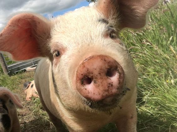 pigs-2.jpg