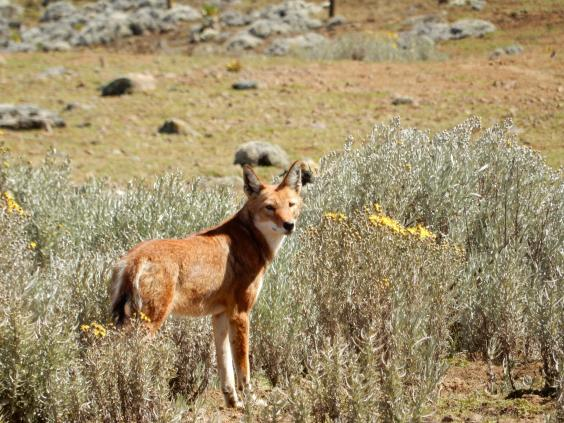 bale-mountains-national-park-ethiopian-wolf-4-credit-ella-buchan.jpg