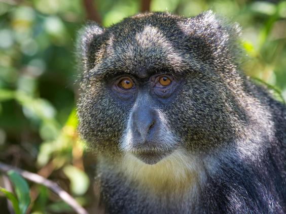 Promiscuous monkeys discovered mating with other species ...