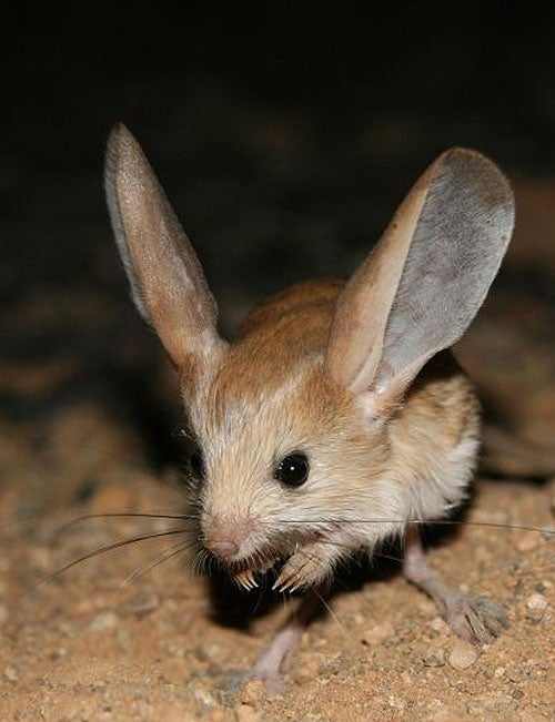 did you hear the one about the long eared jerboa it s been