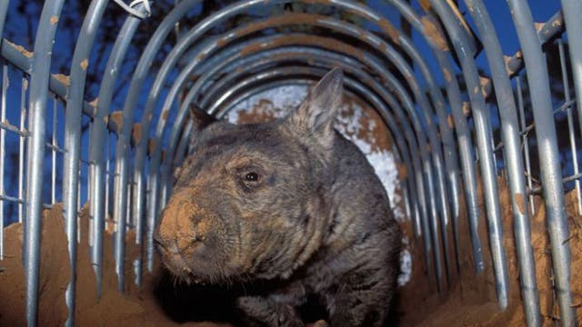 Critically endangered: The Northern hairy-nosed Wombat © Alamy