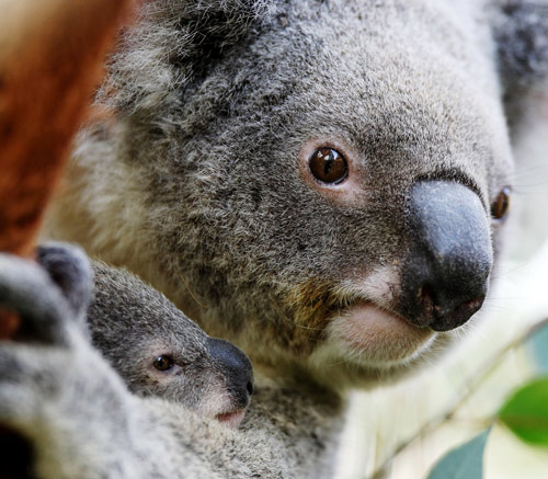 Research shows that the modern koala and its giant cousin coexisted for thousands of years