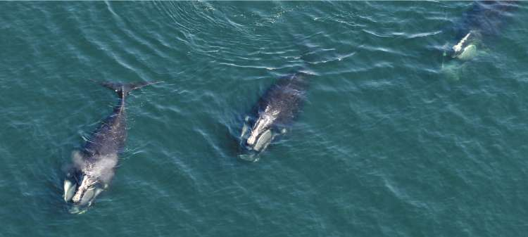 A trio of right whales surface in Cape Cod Bay
