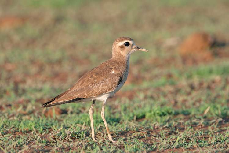 Plovers with lots of lovers had less genetic diversity than their monogamous cousins, researchers found