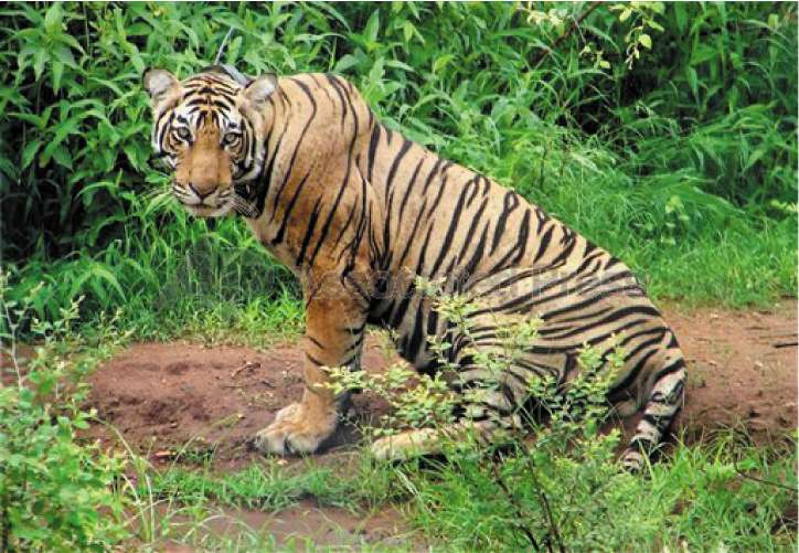 The male which was released into Sariska Tiger Reserve last week