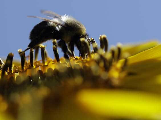 Bees are being killed by climate change, habitat loss and pollution, scientists say