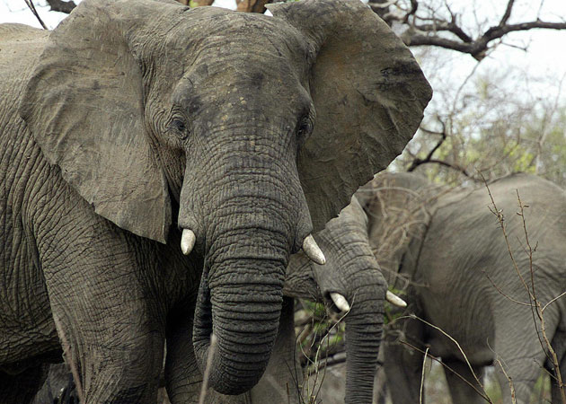 African elephant was downgraded from vulnerable to extinction to the lower category of near threatened, because of recent increases in population in southern and eastern Africa
