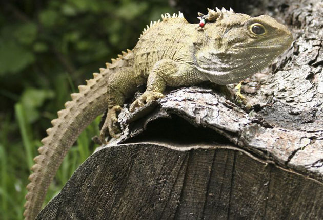Henry The Tuatara Is A Dad At 111