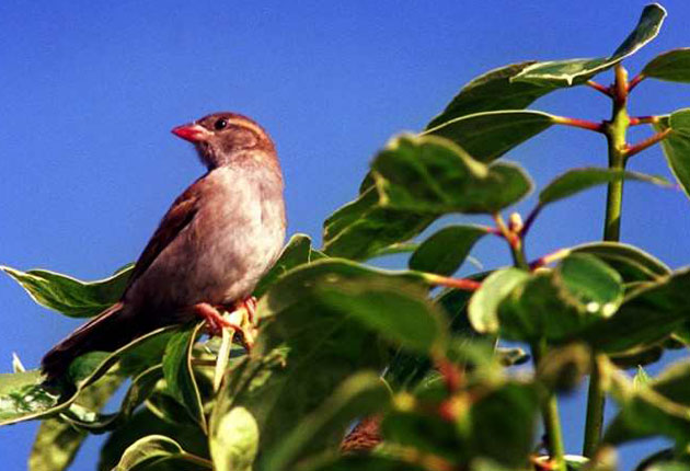 The sparrow population in London has plummeted by 68 per cent in the past 15 years