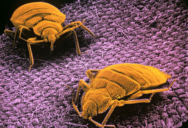 Bedbugs Return To British Hotels The Independent