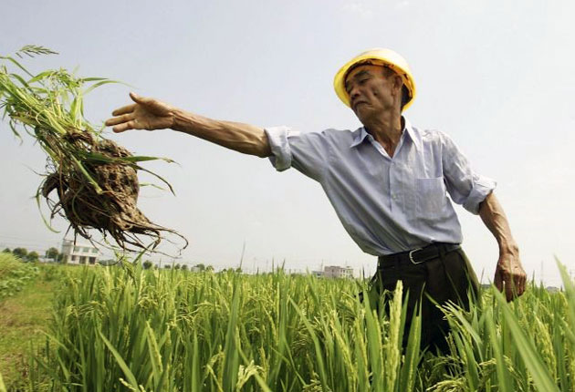 A rice farmer in China. The report predicts that the country's food supply will be hit hard by climate change.