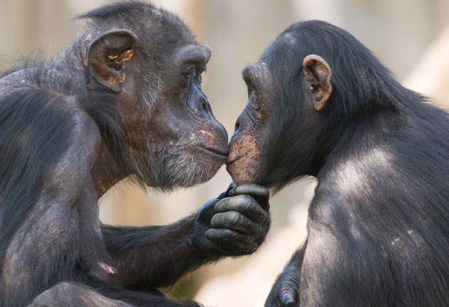 chimpanzee-sex-with-girl-drunk-sluts-passed-out-and-get-fucked