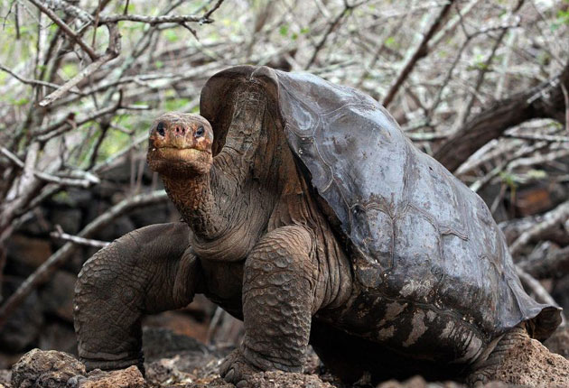Giant tortoises are emblematic of the Galapagos Islands