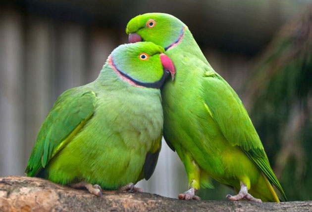 Britain's naturalised parrot now officially a pest | The Independent