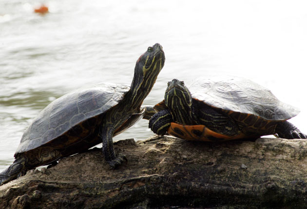 Look out! Abandoned terrapins about | The Independent