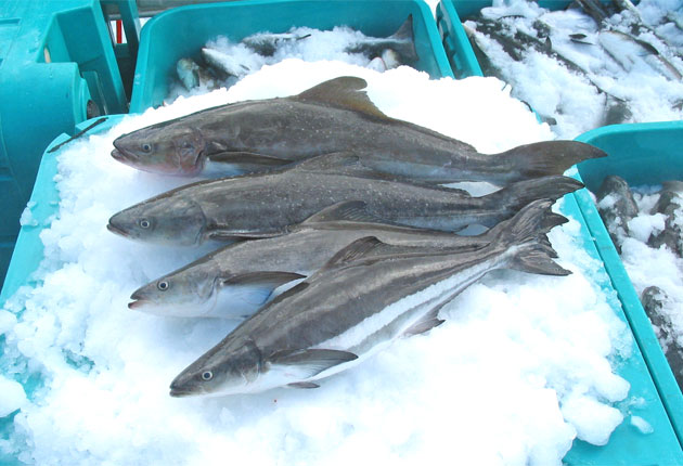 Cobia is a very versatile fish; it can be grilled or eaten raw as sushi or sashimi, and it's rich in Omega-3s